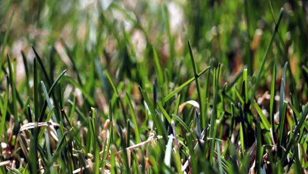 Close up photo of turfgrass